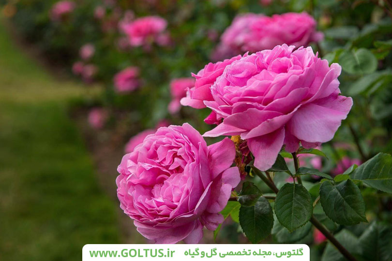 خواص عجیب دمنوش گل محمدی