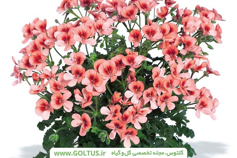 گل شمعدانی عطری