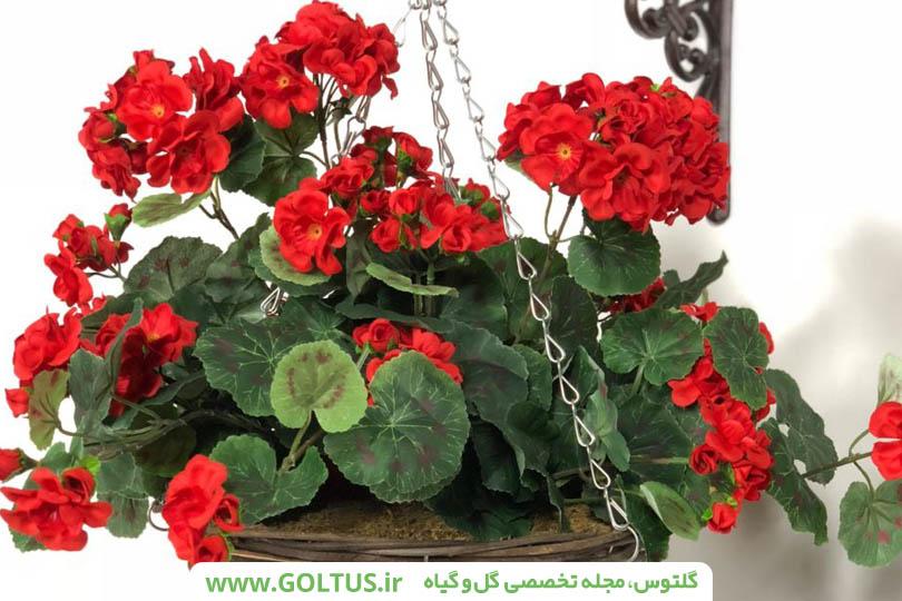گل شمعدانی پیچ